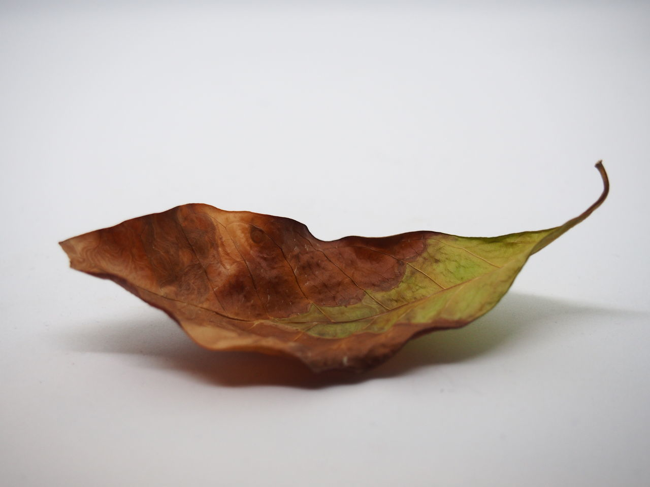 Close-up Day Fragility Leaf Leaves No People Studio Photography Studio Shot White Background