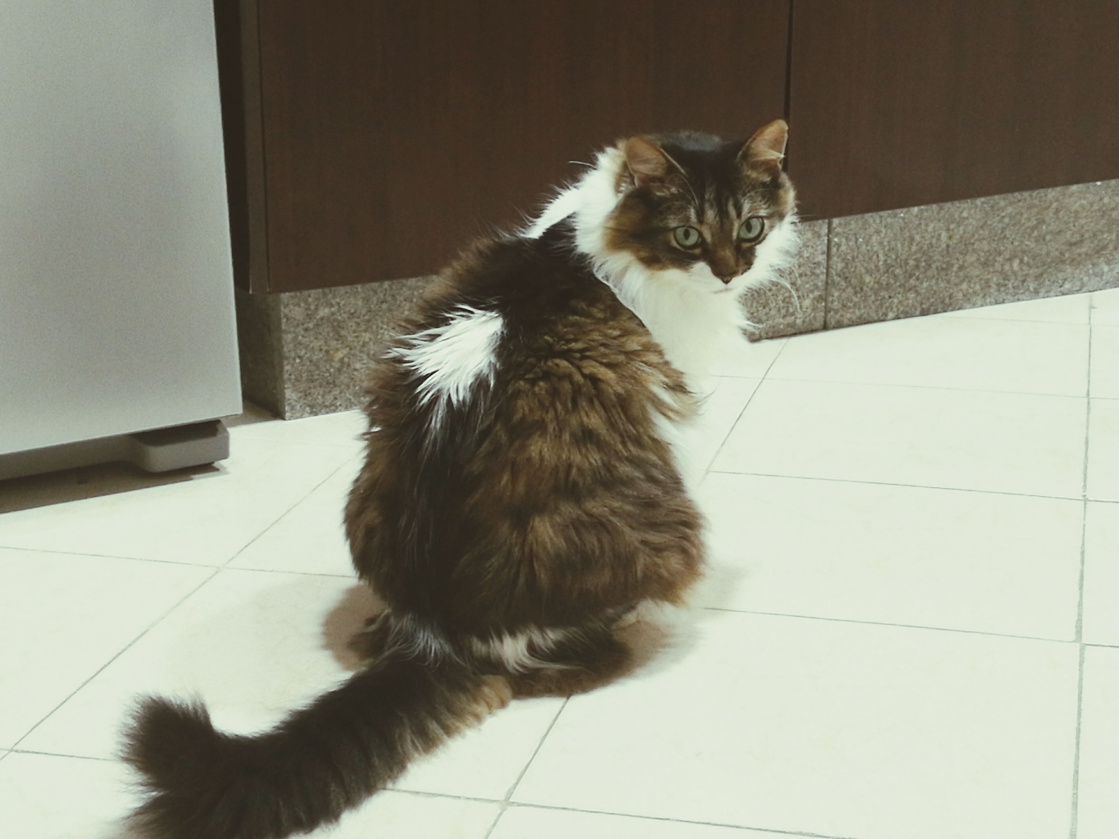 one animal, animal themes, pets, domestic animals, mammal, domestic cat, indoors, cat, feline, sitting, full length, looking away, flooring, zoology, close-up, home interior, vertebrate, whisker, tiled floor, no people