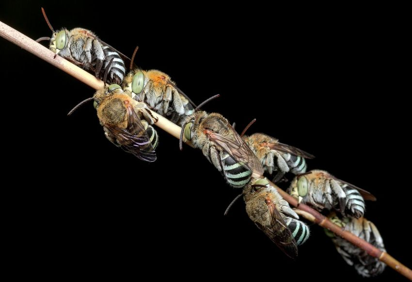Black Background Bees🐝 Bees Sleeping Nigth 🌜⭐️ Night Photography