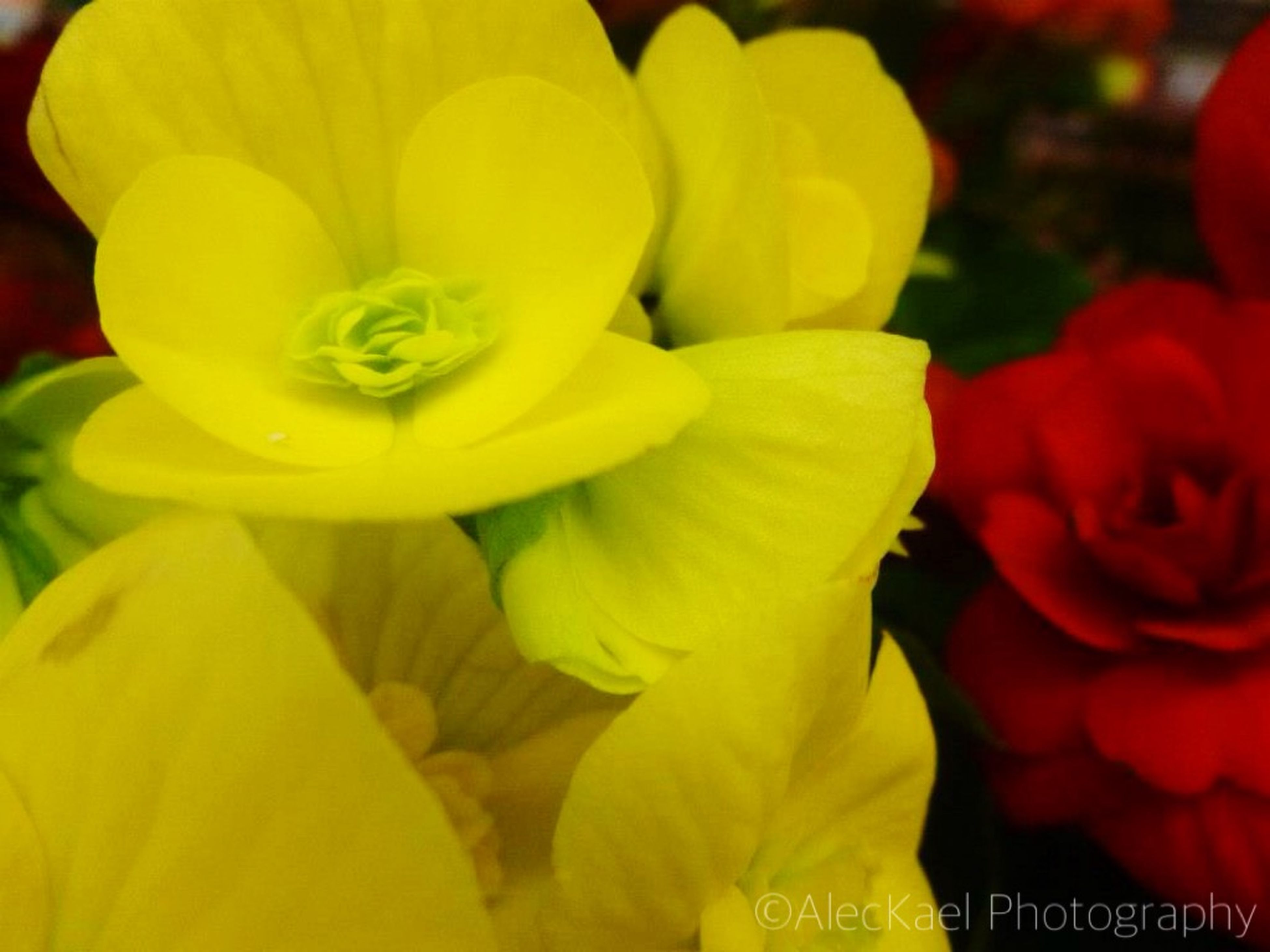 flower, petal, flower head, yellow, freshness, fragility, close-up, beauty in nature, growth, blooming, focus on foreground, nature, tulip, plant, red, outdoors, day, park - man made space, field, in bloom