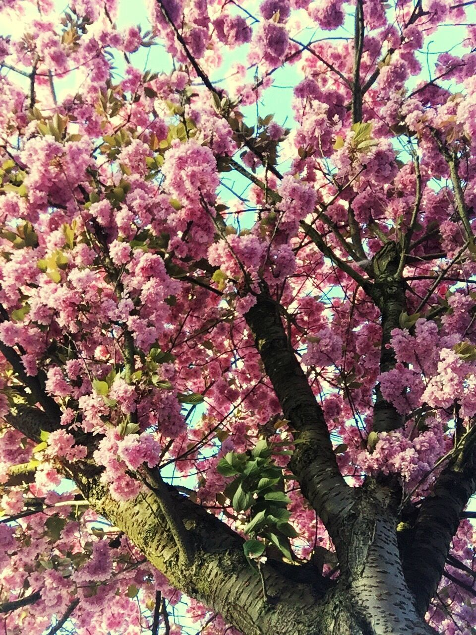 growth, pink color, tree, flower, beauty in nature, nature, blossom, no people, branch, fragility, day, low angle view, freshness, springtime, outdoors, close-up