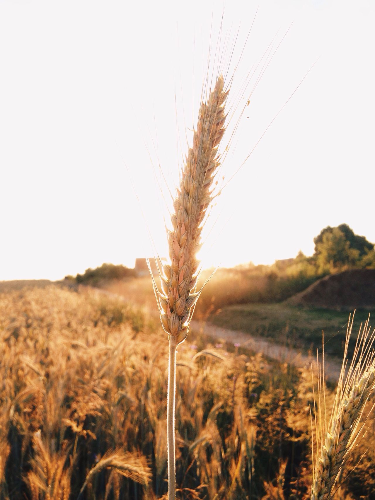 Golden hour in the field Cereal Plant Field Agriculture Wheat Farm Rural Scene Close-up Corn Golden Hour Nature Backgrounds Sunset Sunset_collection Best EyeEm Shot Light