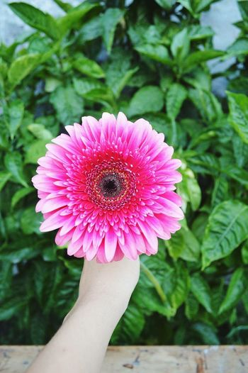Human Body Part Flower Human Hand Pink Color Nature Petal Close-up