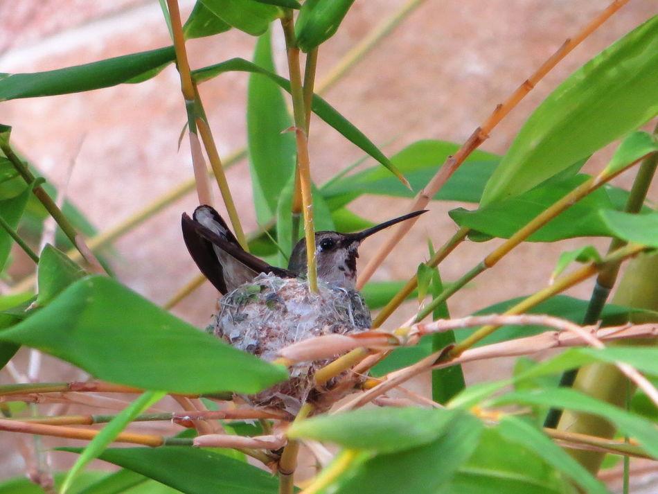 Beautiful stock photos of hummingbird, Animal Nest, Animals In The Wild, Bird, Bird Watching