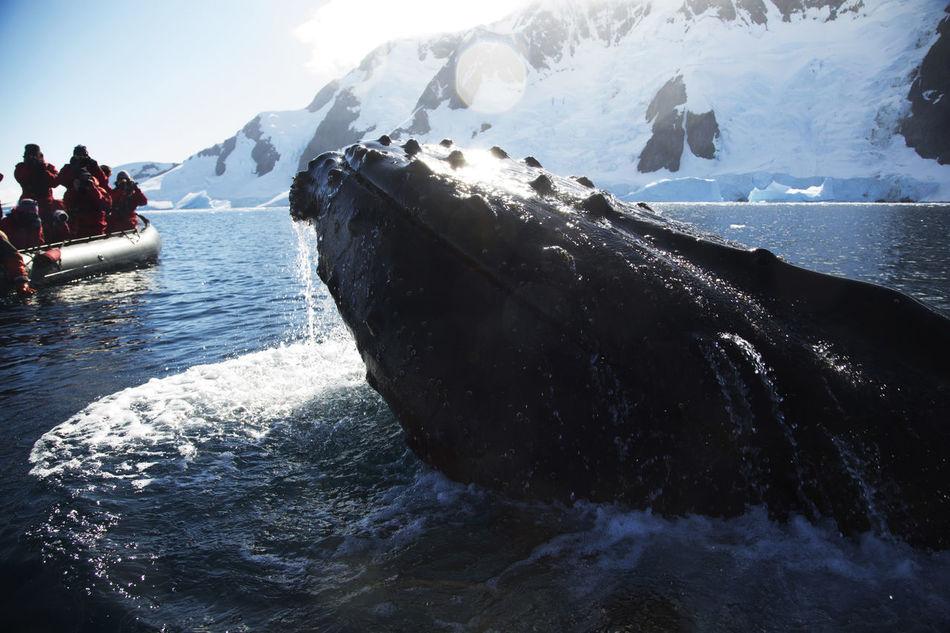 Beautiful stock photos of wal,  Adventure,  Antarctic Ocean,  Aquatic Mammal,  Awe