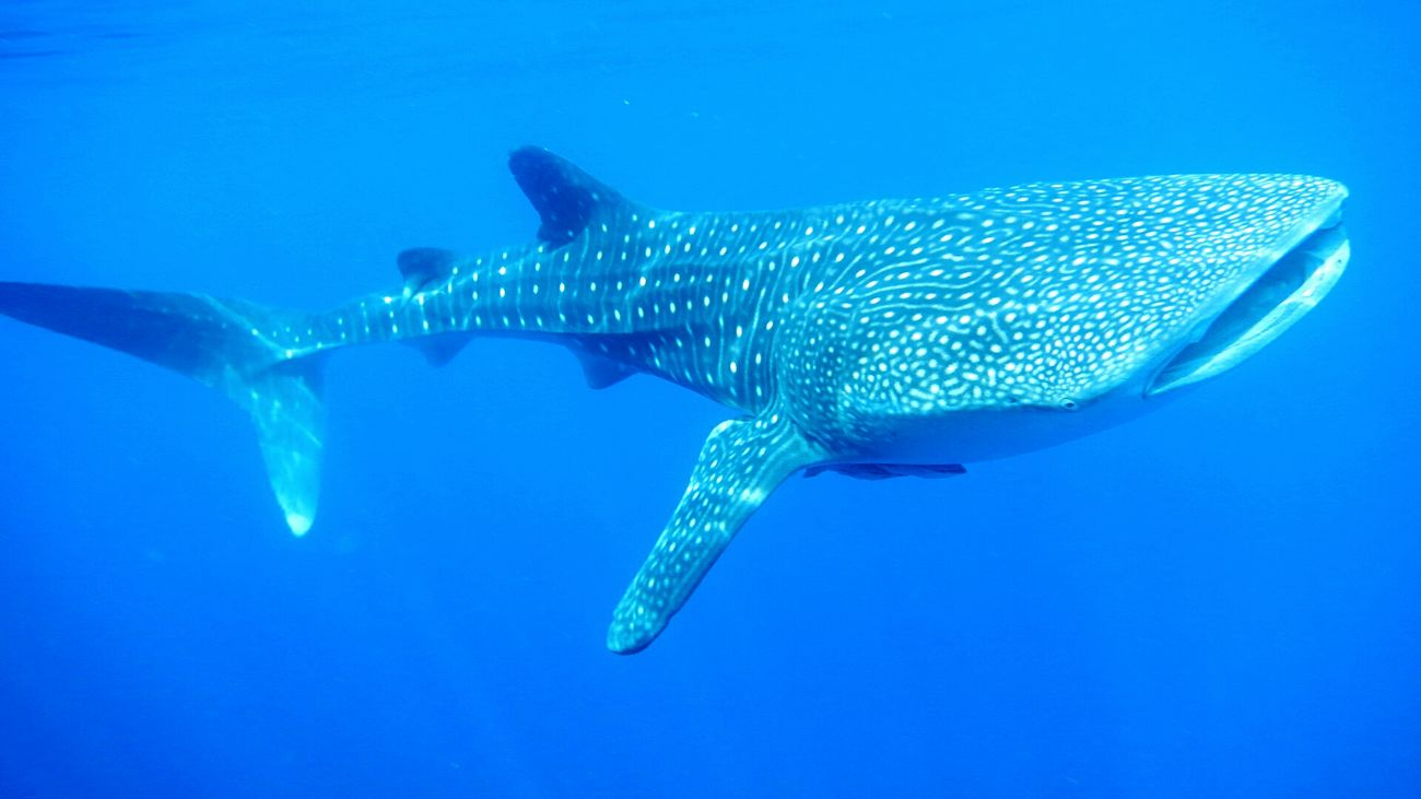 Blue Wave Theblue Intotheblue  Whale Shark Papuabarat Nabire INDONESIA Wonderful Indonesia BirthdayTrip First Eyeem Photo