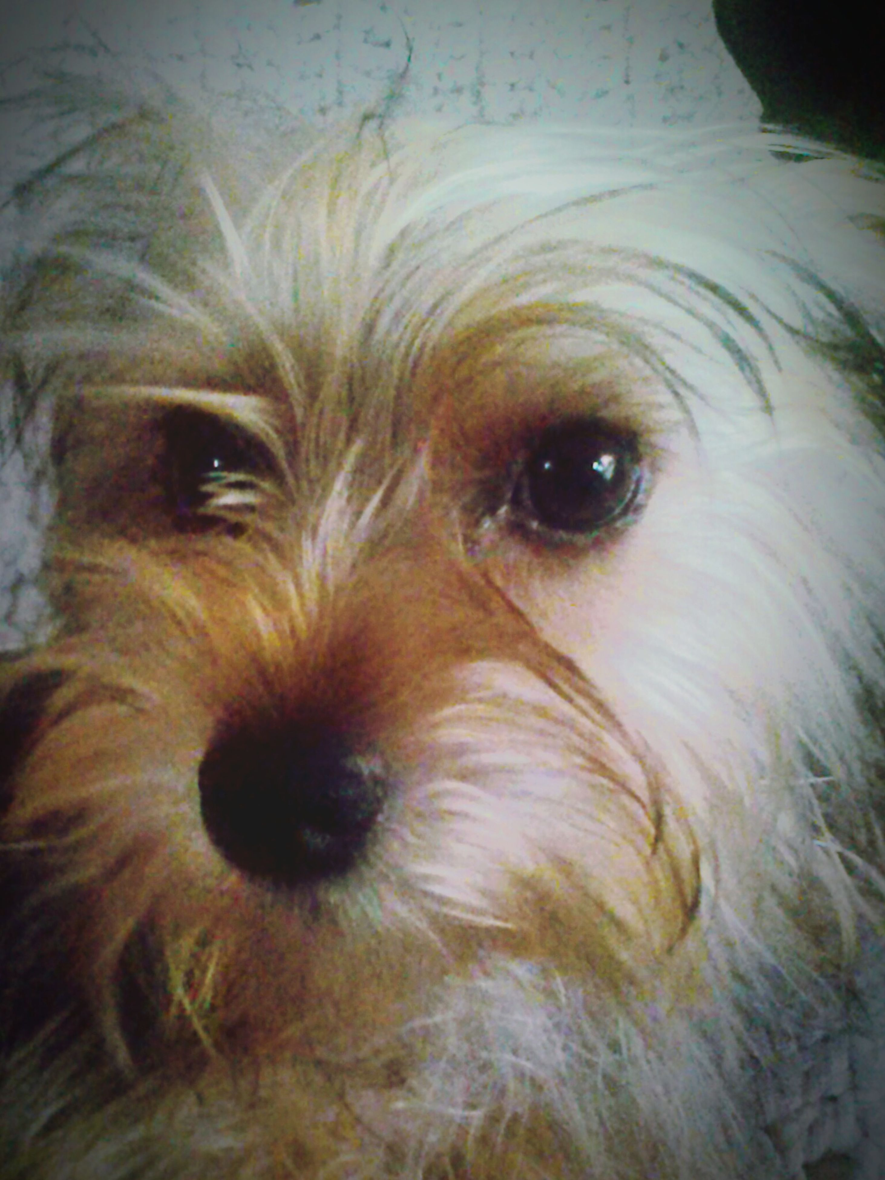 dog, animal themes, one animal, domestic animals, pets, mammal, animal head, indoors, close-up, animal hair, animal body part, portrait, looking at camera, loyalty, no people, pampered pets, zoology, puppy, vertebrate, snout
