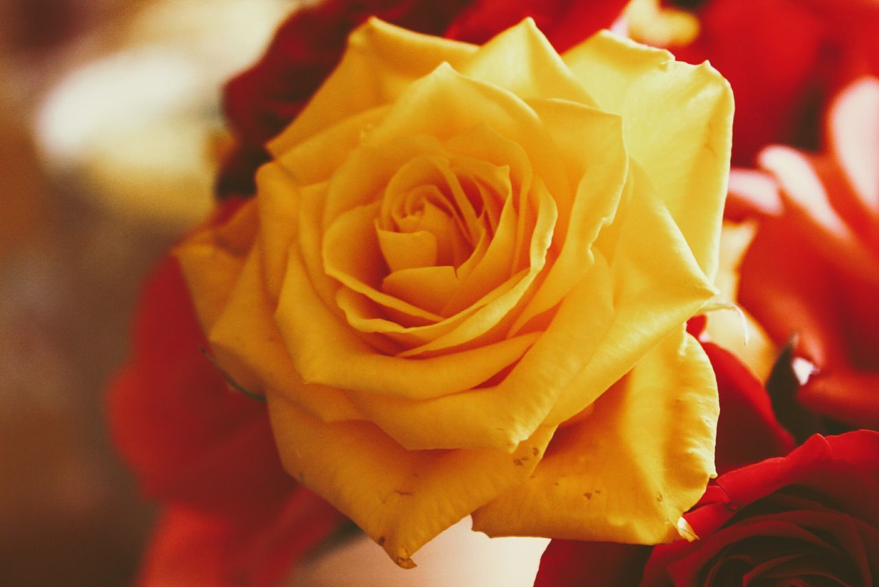 Flower Rose - Flower Fragility Petal Nature Close-up Beauty In Nature Flower Head Freshness No People Day Yellow Rose Yellow Flower