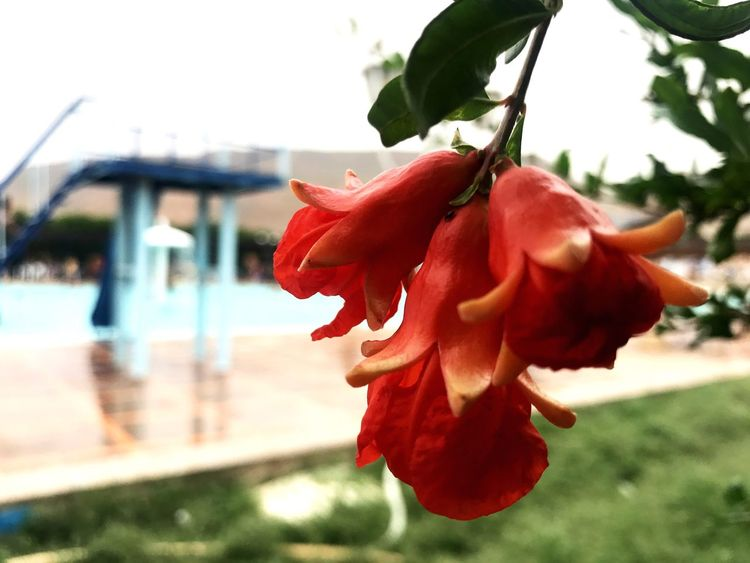 Flower Petal Beauty In Nature Fragility Nature Red Focus On Foreground Growth Flower Head Plant Outdoors Close-up No People Freshness Day Blooming Hibiscus Sky