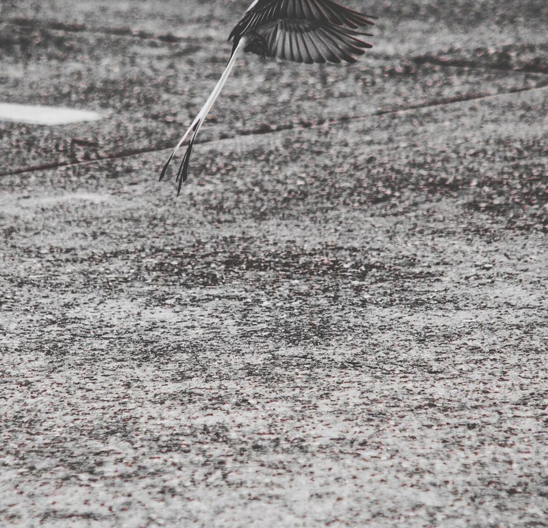 Day Outdoors Mid-air Nature No People Bird Close-up Canon EOS Digital Rebel XT Adobe Photoshop Express Black & White Feathers Springtime Scissor-tailed Flycatcher