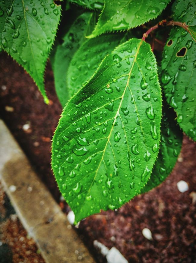 Droplets changes everything... Wet Leaves Rainy Day Dullday After The Rain Awesome_shots Mobilephoto Nexus6P Holidays Hello World ✌ Nature_collection Nature Photography Naturelovers Rain Drops Drops Green Color Green Freshness
