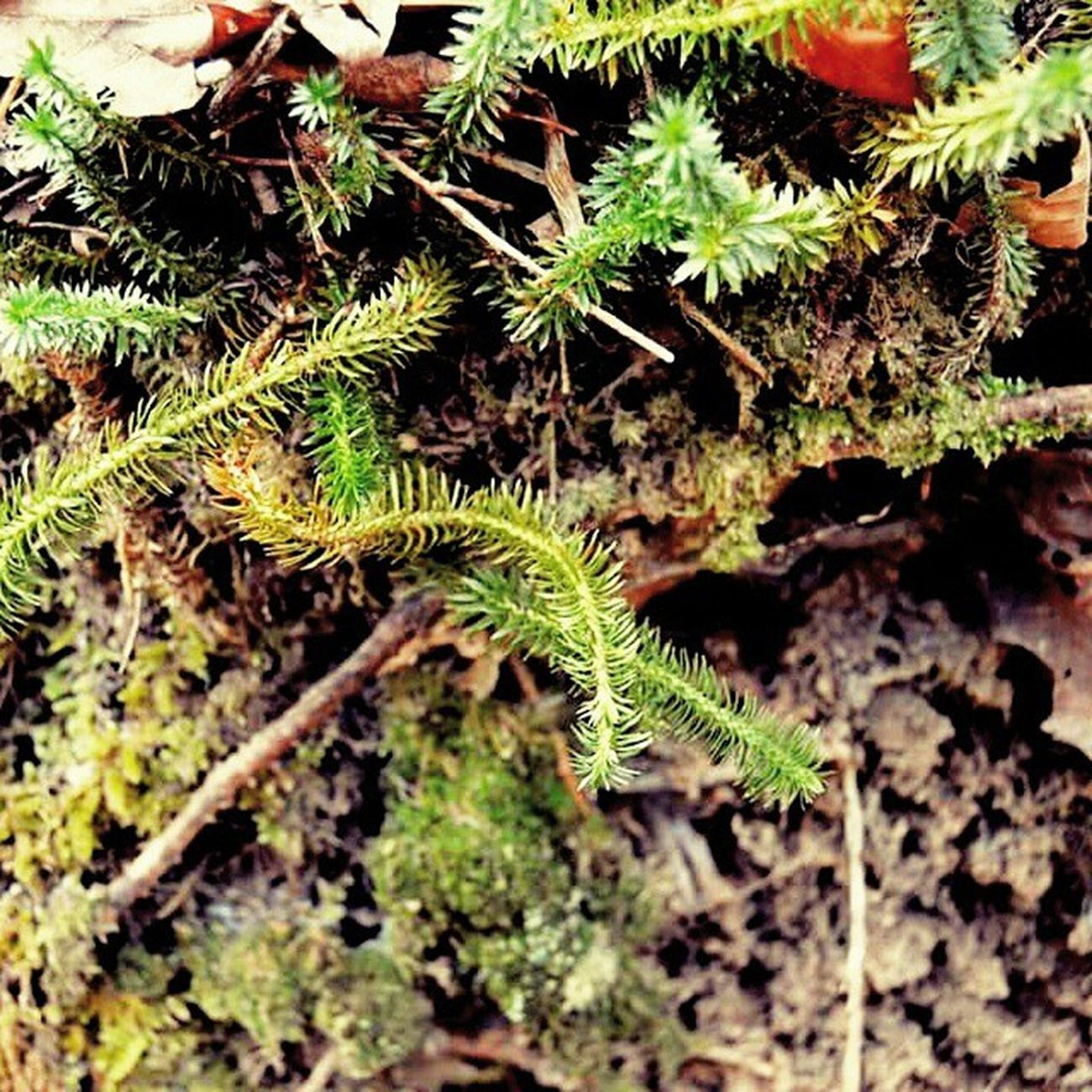 Babypinetrees Outdoorlovers Naturehippys Seasons appalachia igers_of_wv bns_ladies capturethewild fiftyshades_of_nature forests ic_nature jj_justnature mountainstate nature_up_close phototag_nature ptk_nature ruralexploration rsa_nature wv_igers trb_rural wv_nature