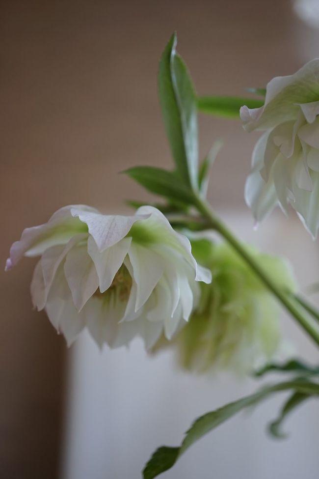 Helleborus Niger Spring Flowers Flowers Spring EyeEm Flower Christmas Rose クリスマスローズ