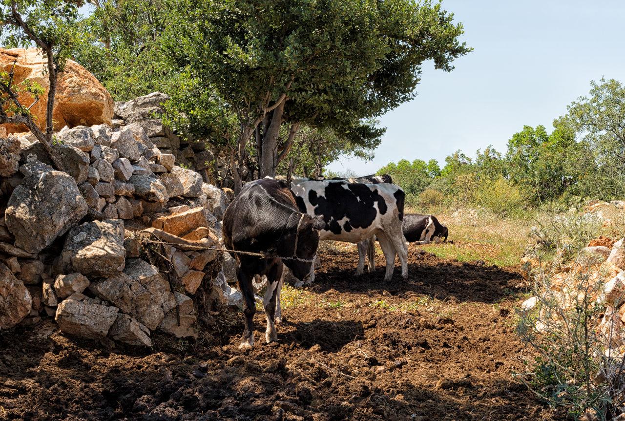 Cow Farm Beef Cattle Cows Farm Farm Life Farmland Fields Landscape Landscapes Mamals Milk Spotted Cow Trees Turkey Uzuncaburç
