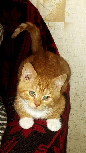 Seila Pets Domestic Cat Domestic Animals Mammal One Animal Looking At Camera Indoors