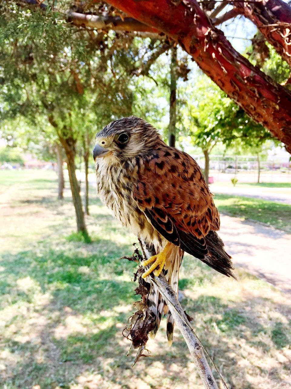 one animal, animal themes, animals in the wild, bird, animal wildlife, tree, focus on foreground, day, no people, outdoors, nature, close-up, perching, bird of prey