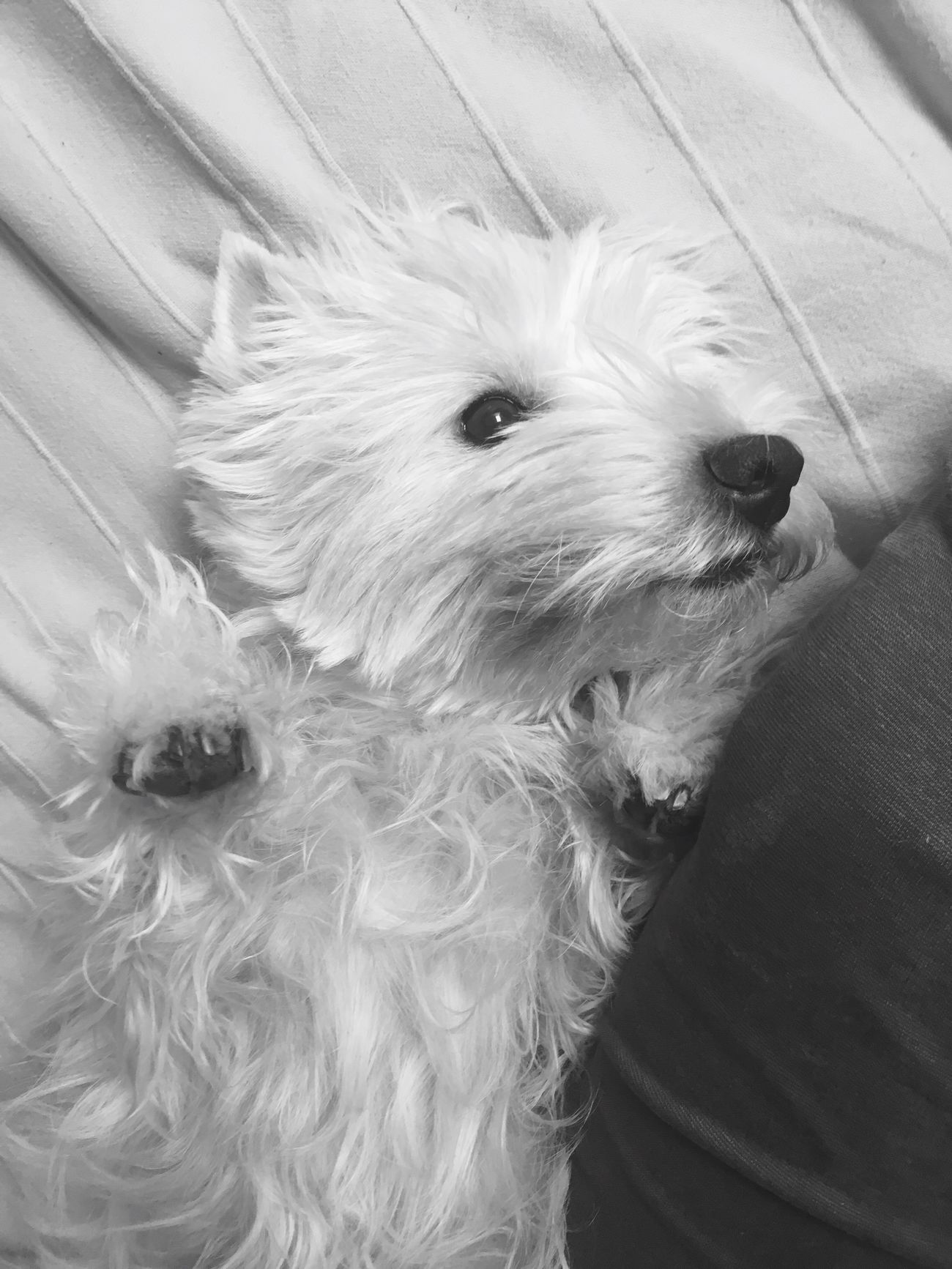 West Highland White Terrier Pets Dog Goodgirl Pet Dogs Pet Photography  Dogslife Queen My Dog Westie I Love My Dog Hello World My Dog Is Cooler Than Your Kid. My Girl Dogs Of EyeEm Bedtime Happy Dog Cute Pets Animal Themes Girl IPhoneography (null)My Love Happy
