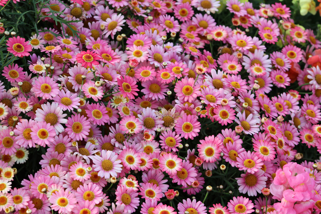Margaret Backgrounds Beauty In Nature Blooming Day Flower Flower Head Flowers, Flower, Field, Spring, Beautiful, Nature, Background, Plant, Green, Summer, Garden, Floral, Landscape, Fresh, Nobody, Day, Blossom, Scenic, Beauty, Natural, Colorful, Bright Fragility Freshness Full Frame Growth Nature No People Outdoors Petal Plant