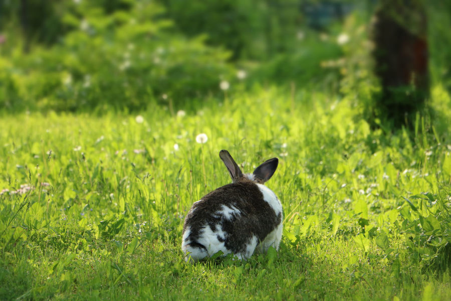 Brown and white rabbit,plant-eating mammal, with long ears, long hind legs, and a short tail, is sitting in the grass Animal Themes Animal Wildlife Animals In The Wild Bunny  Dandelion Day Domestic Animals Field Grass Grass Green Color Mammal Nature No People One Animal Outdoors Rabbit Summer Wildlife