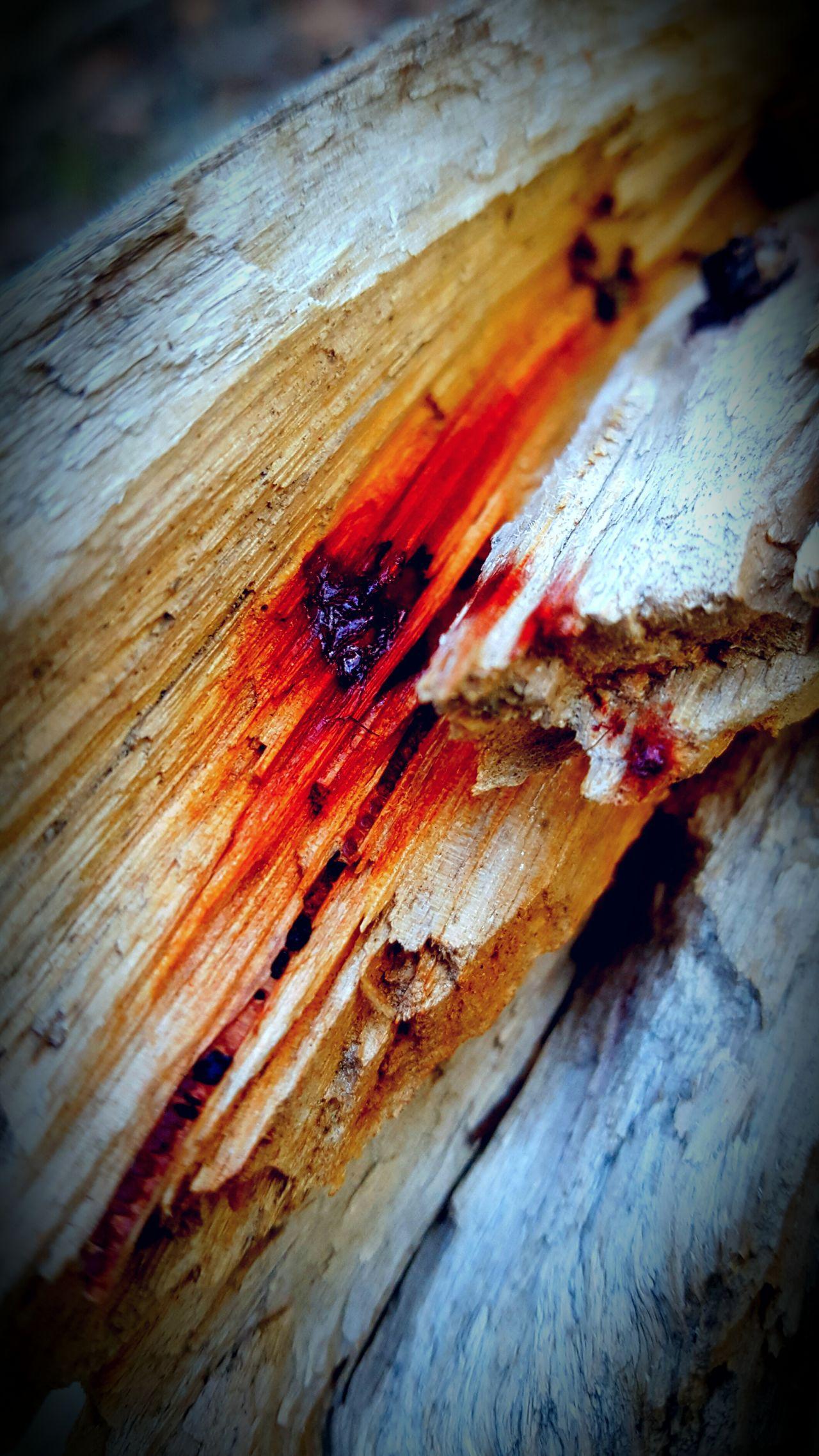 Fallen Tree Bleeding Contrast Alive  On The Inside Dead Tree