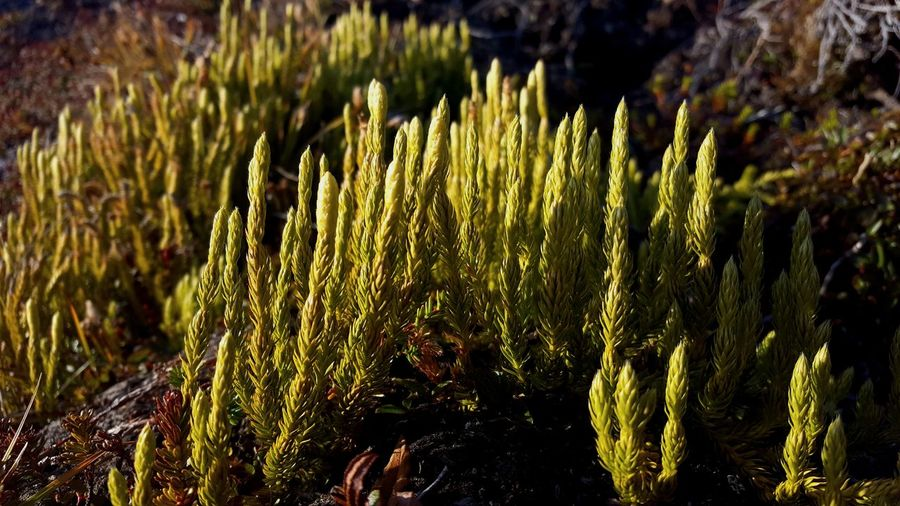 Growth Nature Outdoors No People Beauty In Nature Day Plant Grass Close-up Freshness Innaarsuit Greenland Photograph Nature Photography Nature Photography Is My Escape From Reality!