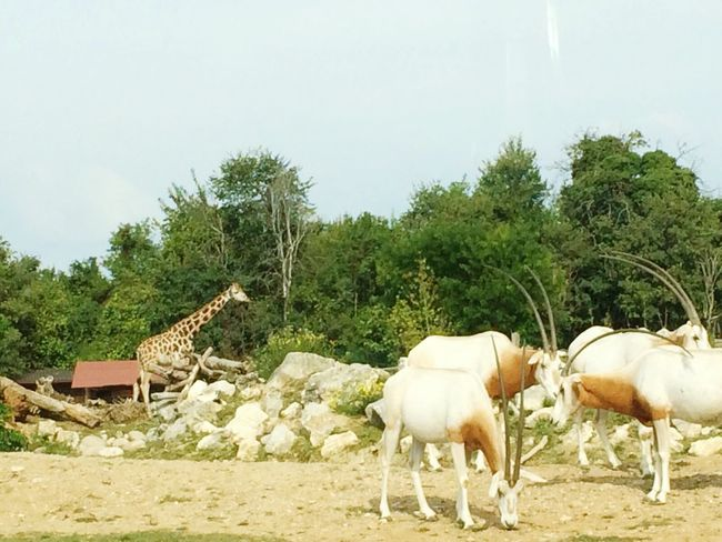 Animals Giraffe♥