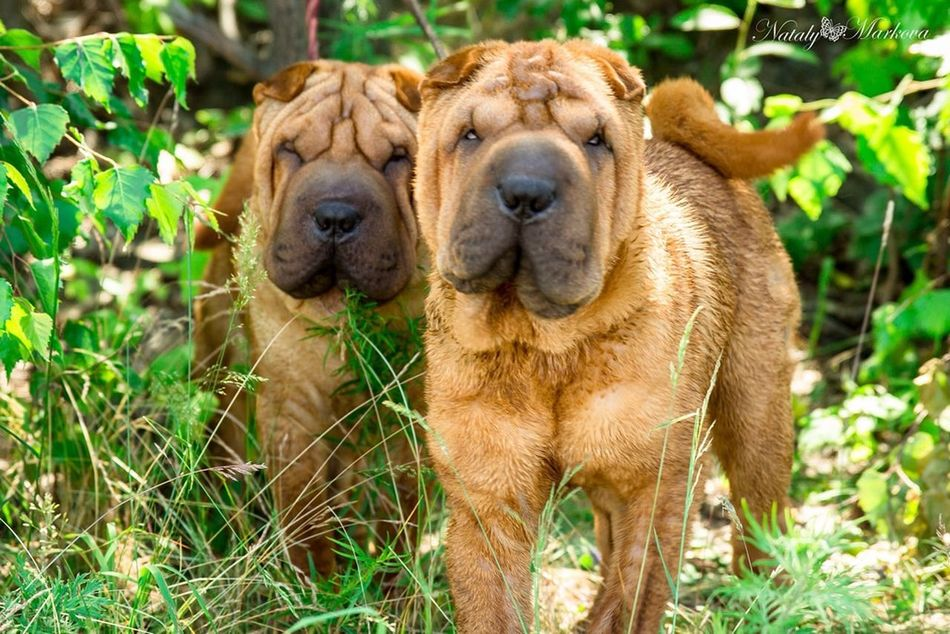 I Love My Dog Dog Dogs Dog Love Sharpei