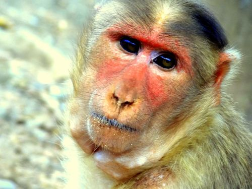 Look into my eyes Animal Themes Animals In The Wild Ape Mammal Monkey One Animal Primate Primeshots Rhesus Macaque Sitting Staring At Me Wildlife Young Animal