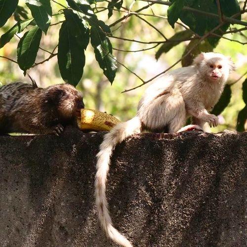 Olha Qu m apareceu Hj! Mico Macacos Brasil