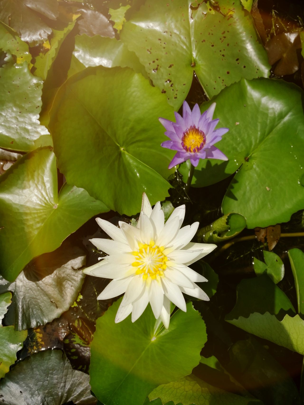 Flower Freshness Petal Nature Beauty In Nature Fragility Flower Head Leaf Water Lily Close-up Plant No People Blossom Springtime Growth Floating On Water Green Color Stamen Lotus Water Lily Outdoors