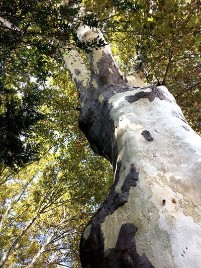 Tree Nature Low Angle View Tree Trunk Tranquility Day Tree Trunk Outdoors Beauty In Nature No People Scenics Branch Forest Close-up Sky