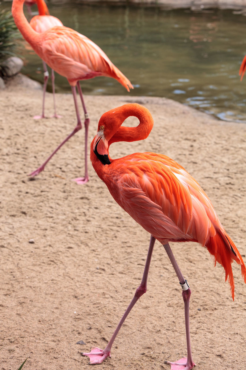 flamingo, bird, animal themes, animals in the wild, pink color, animal wildlife, no people, nature, water, focus on foreground, day, beauty in nature, beak, outdoors, full length, close-up