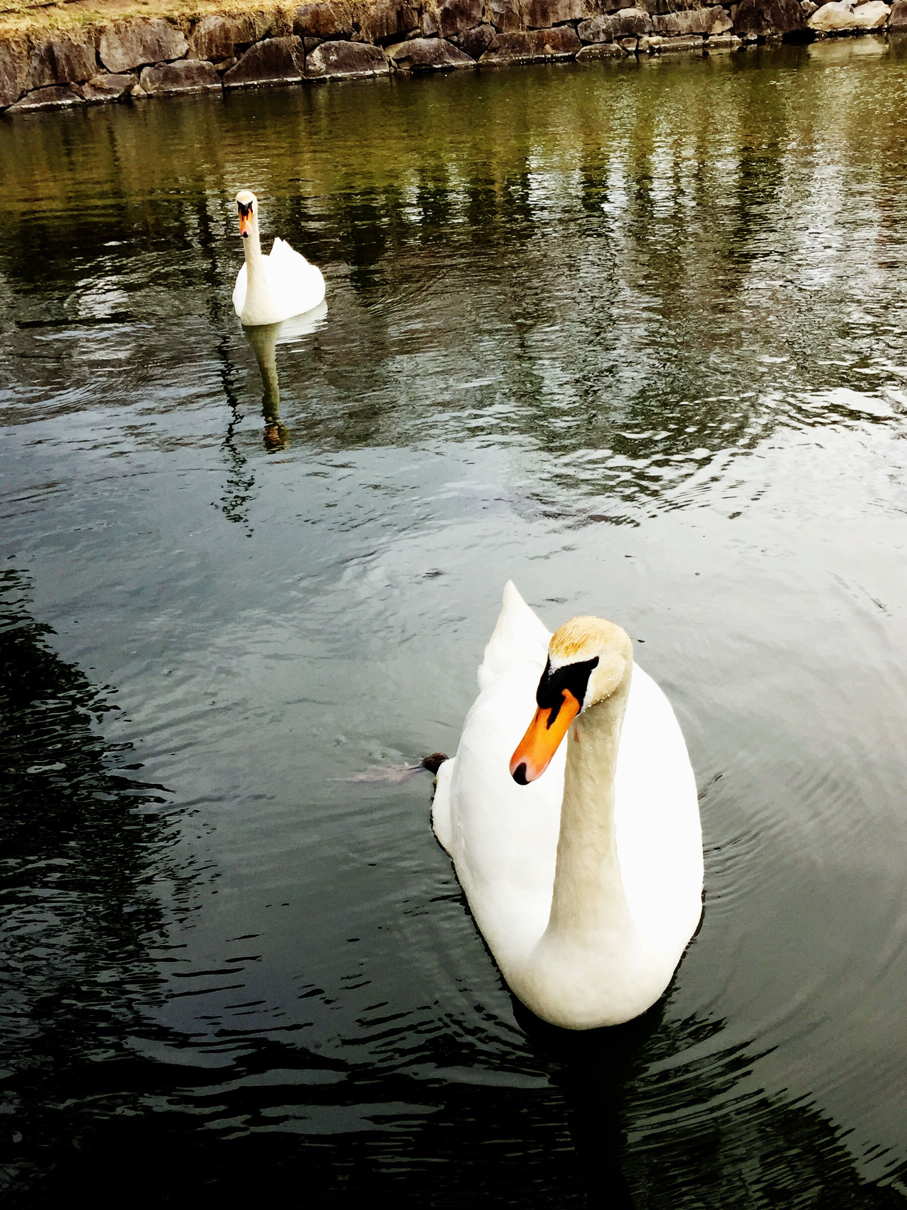bird, animal themes, water, lake, swan, animals in the wild, wildlife, swimming, reflection, water bird, duck, white color, high angle view, two animals, rippled, floating on water, lakeshore, waterfront, togetherness, nature