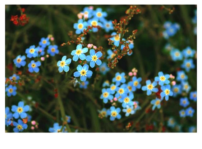 Forget Me Not Wildlife & Nature Wildlife Photography Wildflowers Wildflower Flora Botany Blue Flowers Myosotis Biodiversity Naturelovers Nature Nature Photography