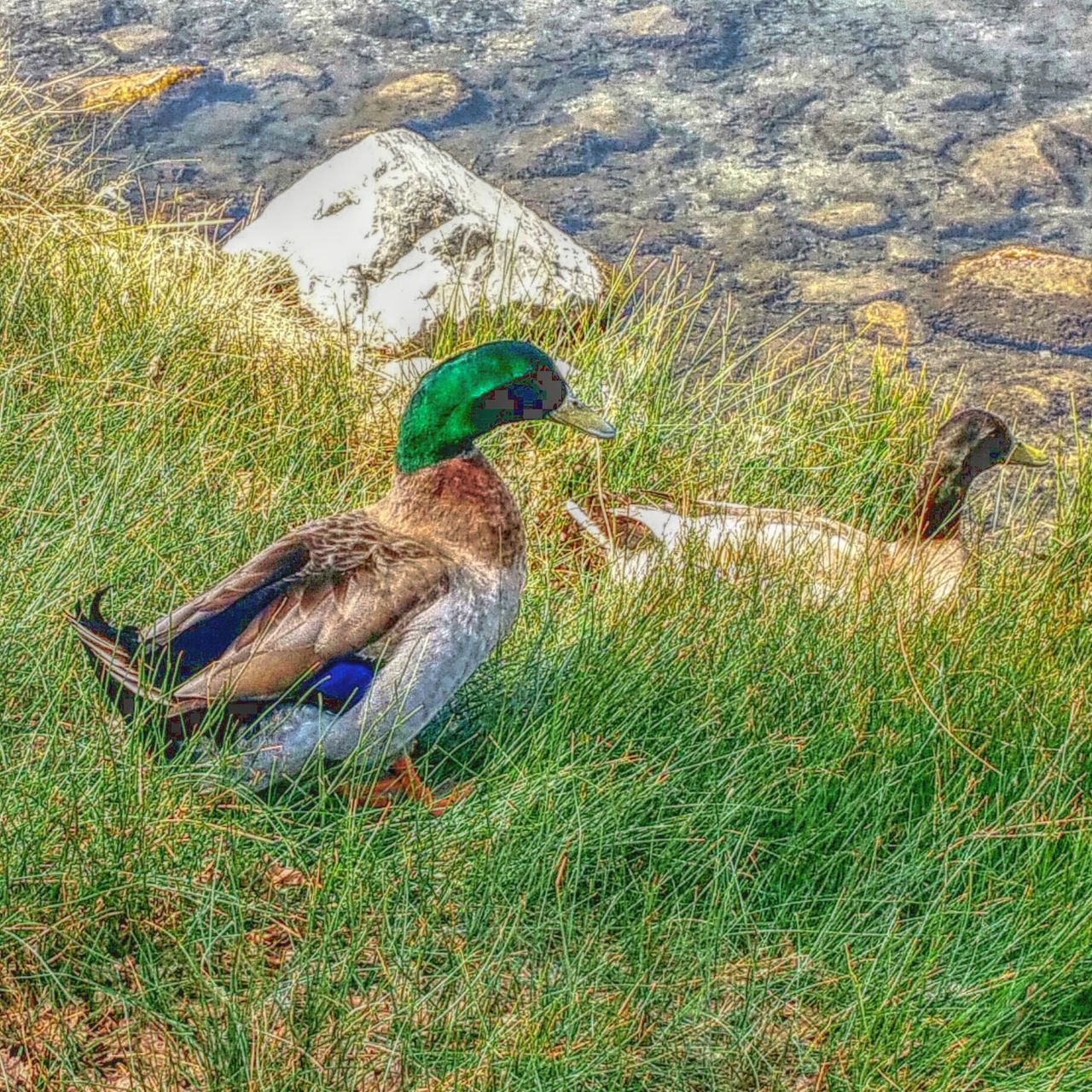 grass, animal themes, nature, animals in the wild, bird, day, field, outdoors, green color, duck, animal wildlife, lake, beauty in nature, one animal, no people, perching, water