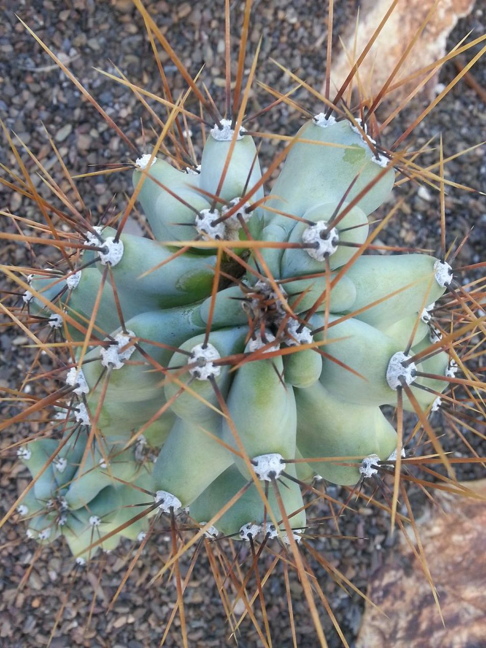 Cactus Arizona Pricks