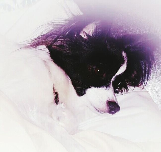 Shades Of Grey My Dogs Are Cooler Than Your Kids Dogstagram Papillion, Dog, Cute, Precious, Furry Dogs Happiness