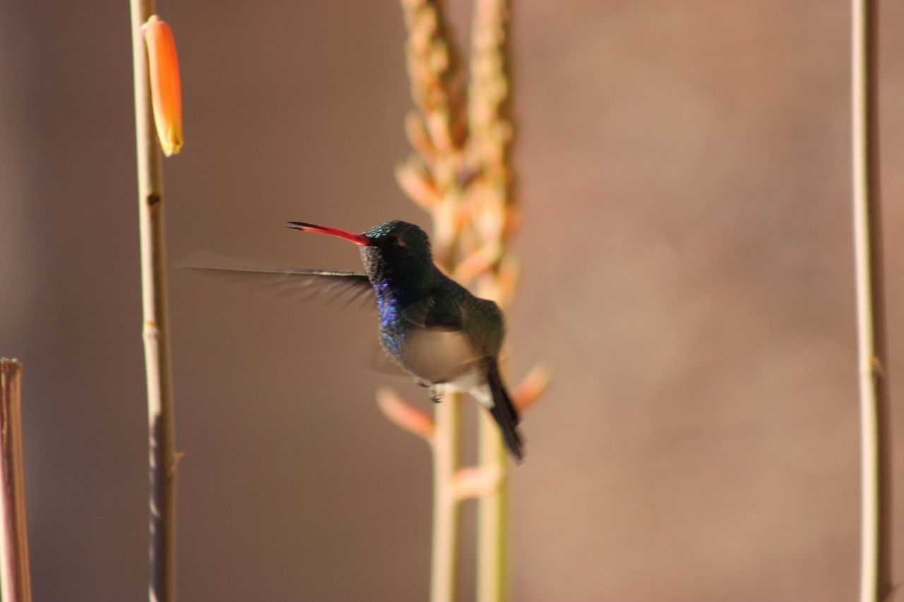 Beautiful stock photos of hummingbird, Animal Themes, Animals In The Wild, Beak, Bird