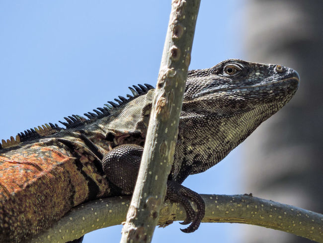 Animal Themes Animal Wildlife Animals In The Wild Black Iguana Close-up Iguana Magazhu Nature No People Outdoors Showcase April Yelapa