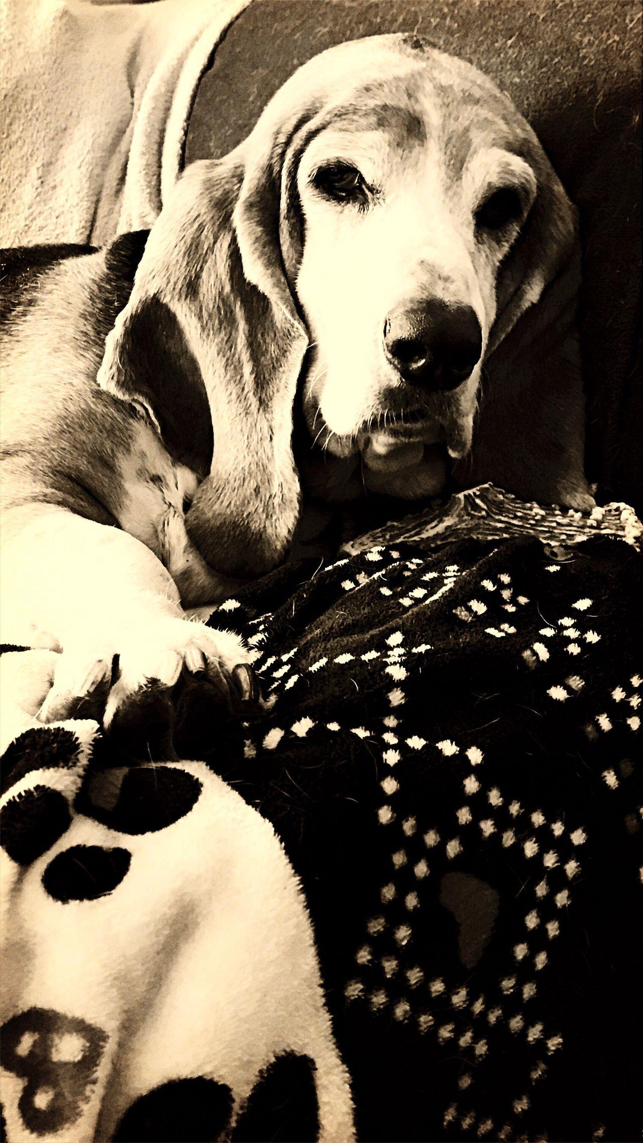 Look who woke up❤️ Pets Dog Domestic Animals One Animal Indoors  Close-up Seniorhoundsrock PortraitPhotography Iphone7 Camerafilters Bassethoundsare Best Ilovemybassethounds Bassetmoments