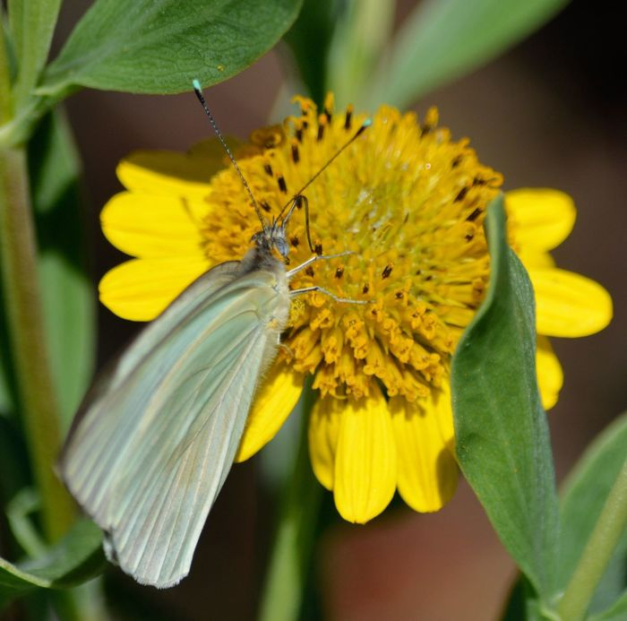 Great Southern White Butterfly Flower Fragility Yellow Beauty In Nature Petal Nature Freshness Insect One Animal Animal Themes Close-up Plant Growth Flower Head Pollen Blooming Animals In The Wild Pollination No People Day