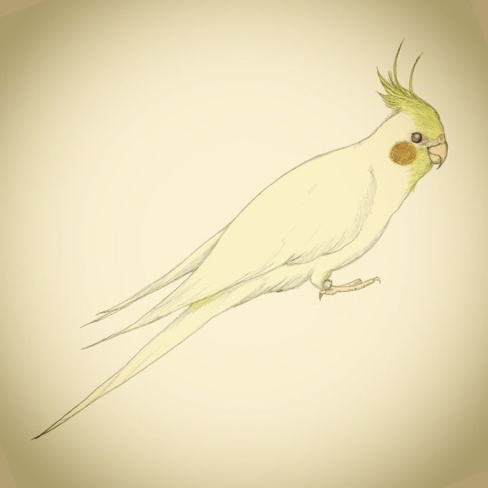 My Cockatiel LUCE. Art Bird Illustration Cockatiel Luce Pencilillustration Cocktiel