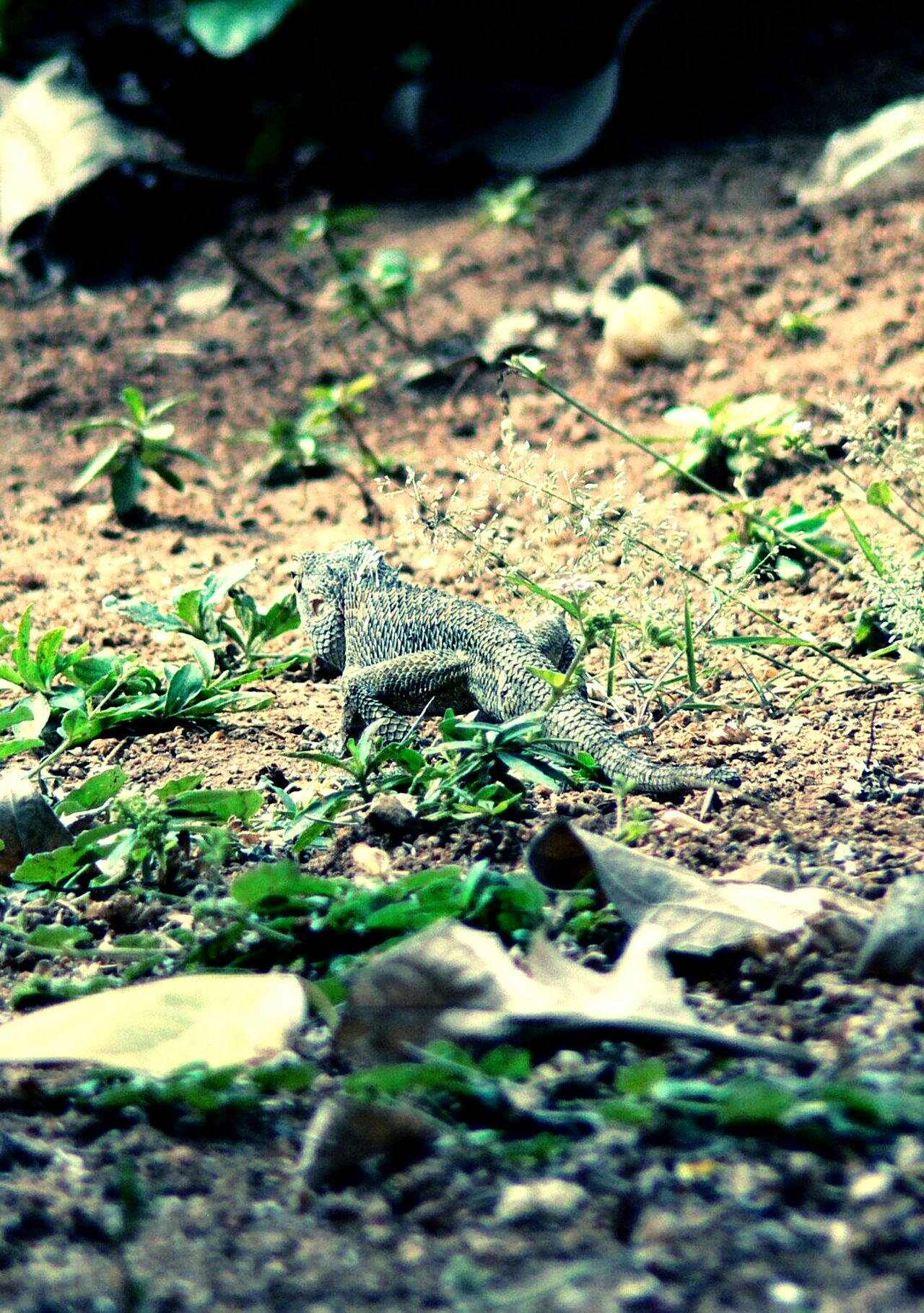 The Lizard Madness In The Garden Waiting For Prey Lizard Love Lizard Watching Lizard Cuteness Lizard Nature Eyeem Lizards EyeEmBestPics Taking Photos EyeEm Gallery Eyeemphotography EyeEm Best Shots - Nature EyeEm Nature Lover Lizardporn The Lizard Showcase: November Cold Blooded Repltile Predator