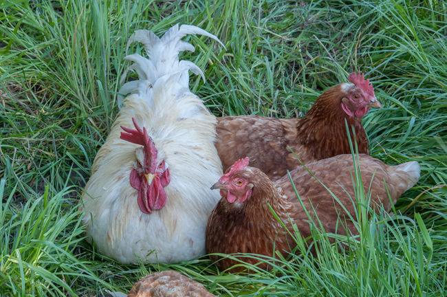 Animal Family Animal Themes Chicken - Bird Close-up Day Domestic Animals Field Grass Grassy Green Color Hen Livestock Male Animal Nature No People Outdoors Relaxation Resting Nature's Diversities