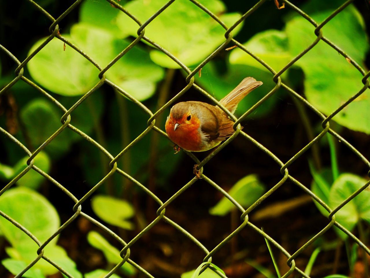 A robin sitting in the fence. Chainlink Fence One Animal Metal Animal Themes Safety Protection Focus On Foreground Animals In The Wild Bird Day Animal Wildlife Cage No People Outdoors Close-up Nature Eyeemphotography EyeEmBestPics Animals In The Wild EyeEmNewHere EyeEm Best Shots First Eyeem Photo Beauty In Nature EyeEm Gallery Beauty