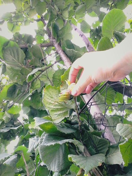 Parts Of Me Hand Fingers Slowfood Halzenut Plant Halzenut Eyeem Market Halzenuts @wolfzuachis Wolfzuachis Ionitaveronica Eyeemphoto Halzenut Tree Human Finger Outdoors Fruits Enhanced Close-up Touching Nature Green Beauty In Nature Finger Person Leaf