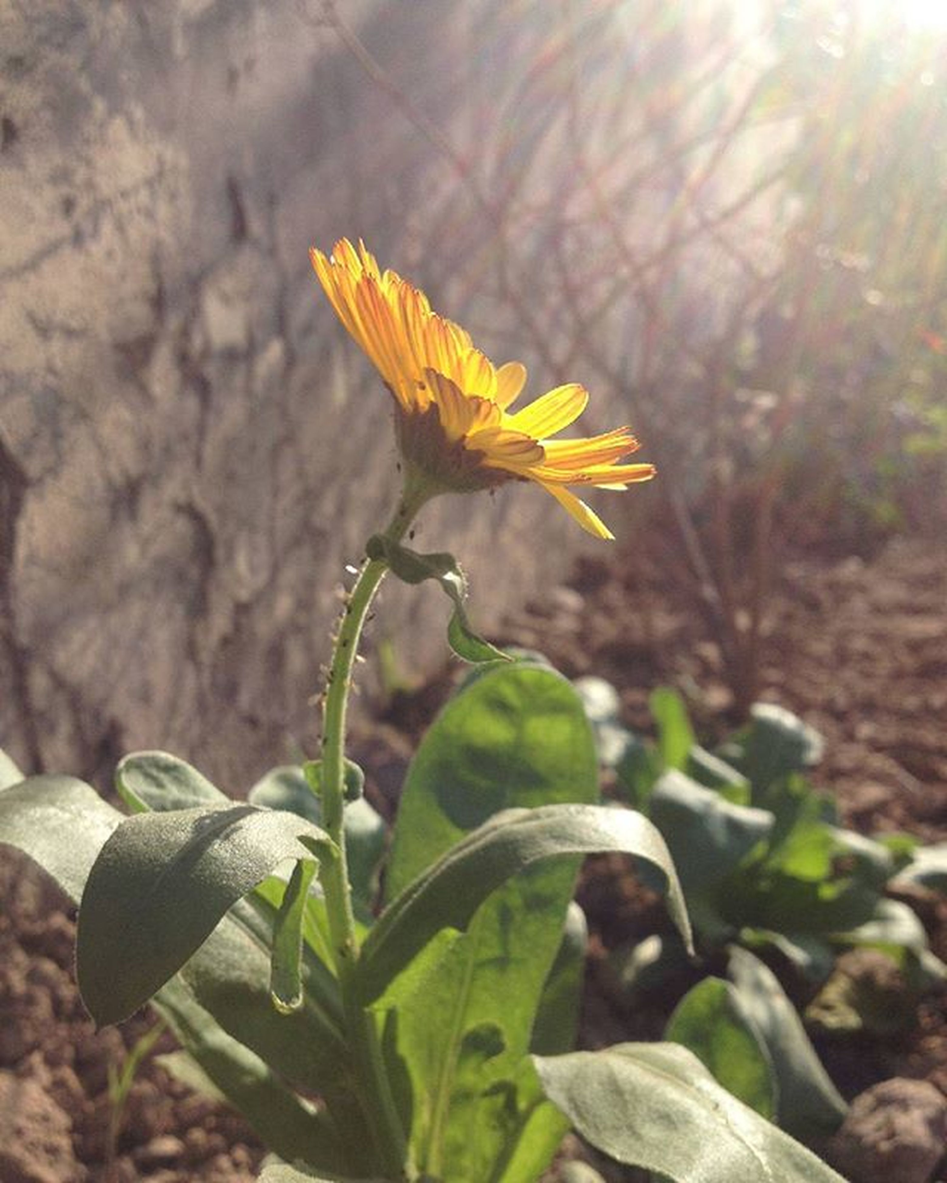 flower, leaf, growth, fragility, plant, petal, focus on foreground, nature, freshness, close-up, yellow, beauty in nature, stem, flower head, sunlight, day, outdoors, blooming, no people, botany