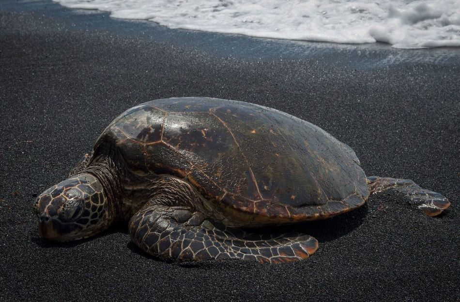 Color version of honu at Black Sand Beach in Punalu'u, Hawaii. Turtle One Animal Animals In The Wild Sea Turtle Sea Beach