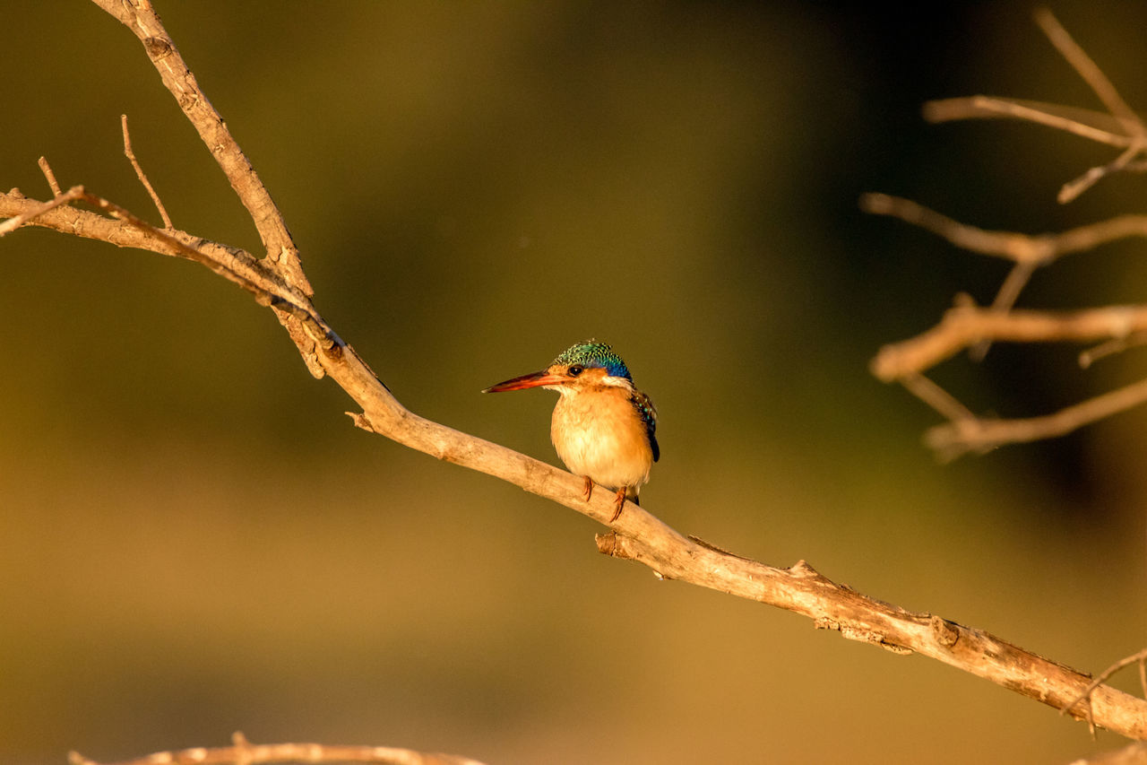 Animal Themes Animal Wildlife Animals In The Wild Beak Beauty In Nature Bird Branch Caprivi Caprivistrip Close-up Day Focus On Foreground Kingfisher Kingfisher Malachite Kingfisher Namibia Nature No People One Animal Outdoors Perching Tree Twig