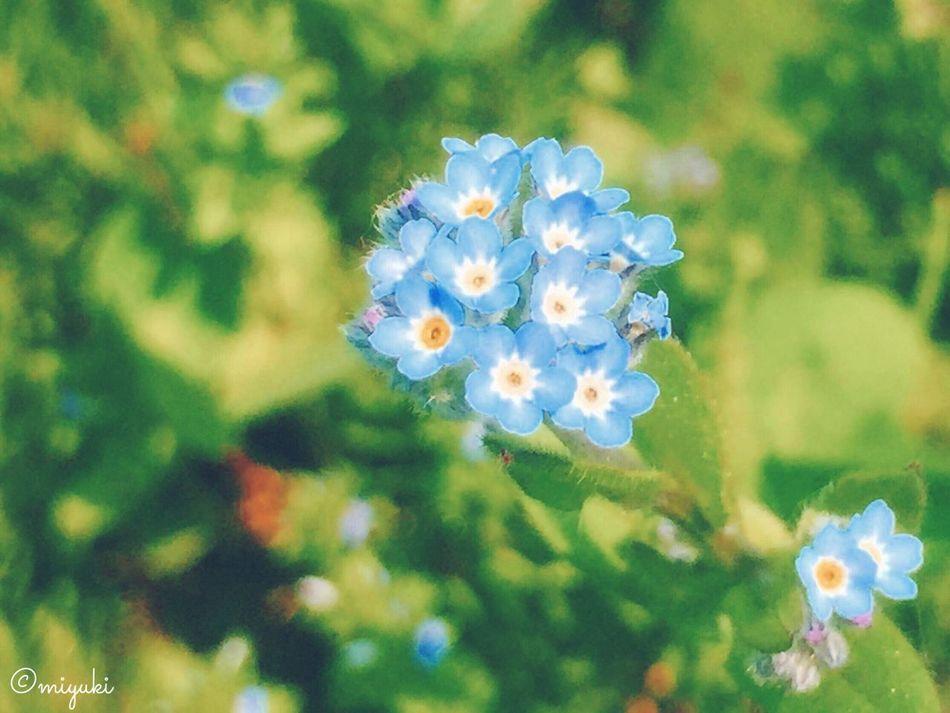 ワスレナグサ。forget me not. Blue Flowerporn Flower Collection EyeEm Nature Lover Forgetmenot